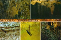 The Cycle of the Glowworm